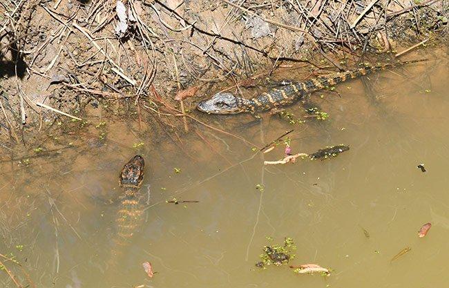 American Alligator Babies, Cuddo Unit