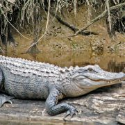 American Alligator   Great Pee Dee River