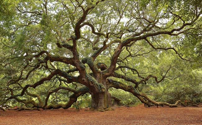 Angel Oak Tree SC