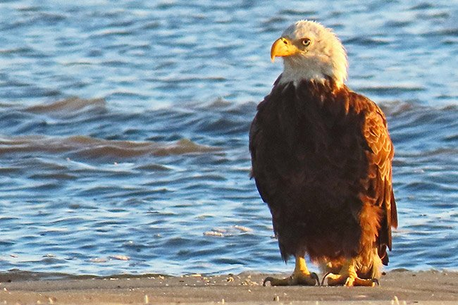 Bald Eagle, Hilton Head Island Beach