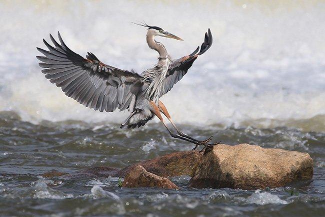Blue Heron Rocky Landing