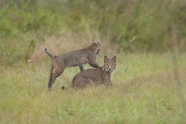 Bobcats at Play
