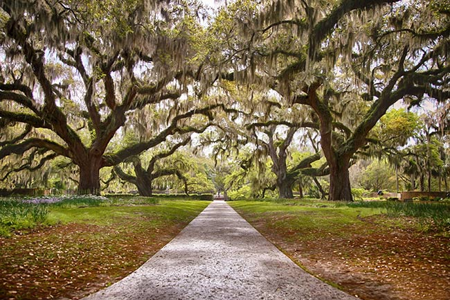 Brookgreen Gardens Allee of Oaks