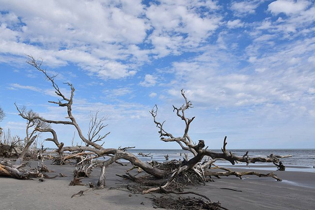 Capers Island Boneyard Oaks