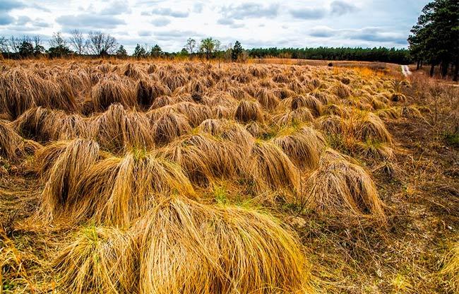 Carolina Sandhills Buffalo Grass