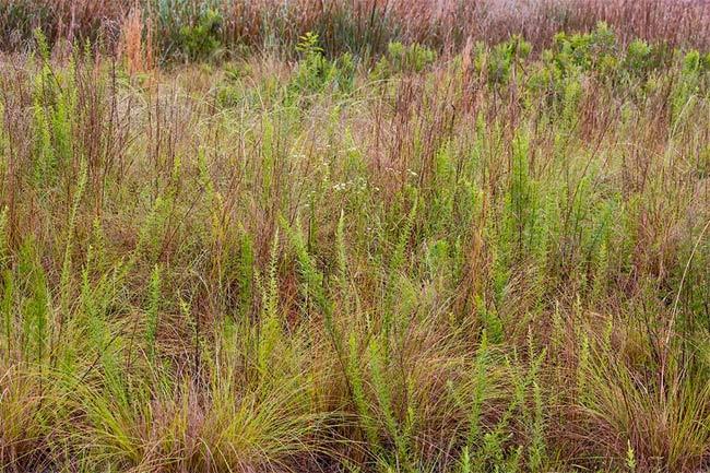 Carolina Sandhills Grassland