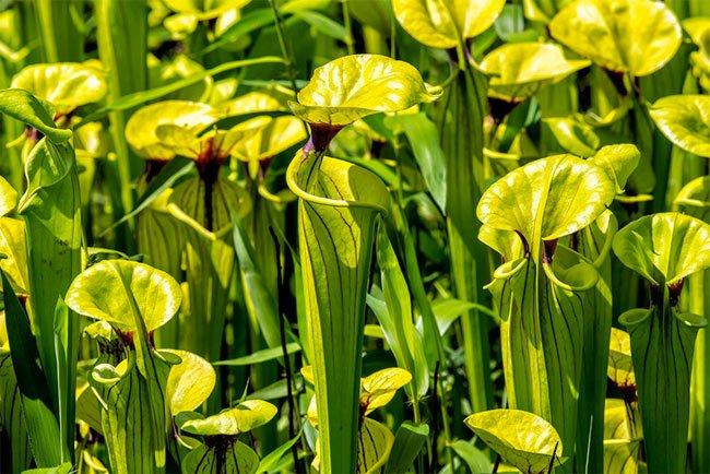 Carolina Sandhills Pitcher Plants