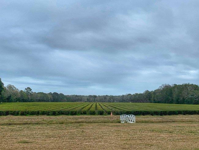 Charleston SC Tea Farm