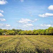 Charleston SC Tea Fields