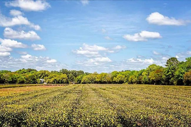 Charleston SC Tea Fields