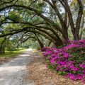 Charleston Tea Plantation Oaks
