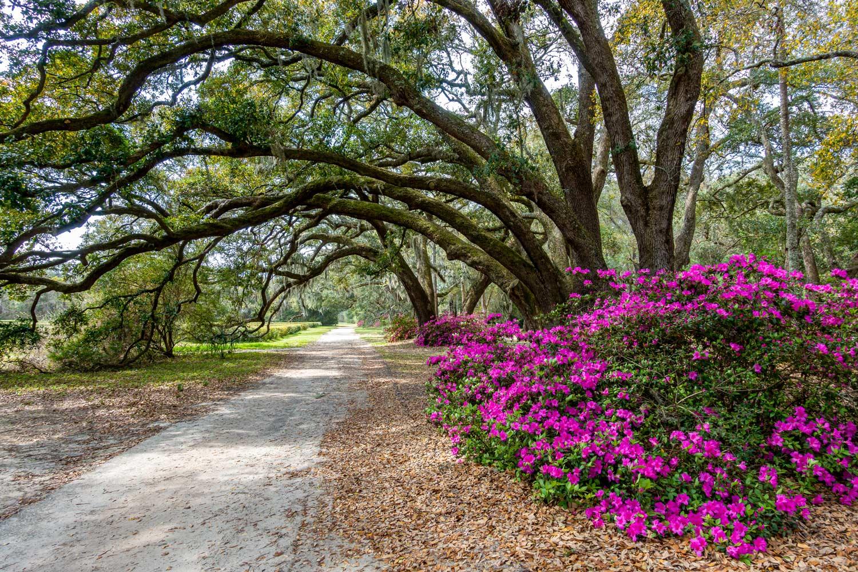 Charleston Tea Plantation Oaks