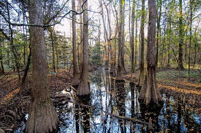 Congaree National Park Swamp