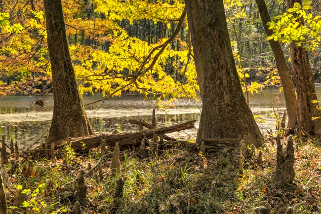 Congaree Park Cypress Knees