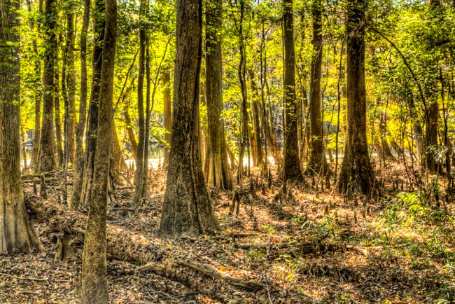 Congaree Park Forest