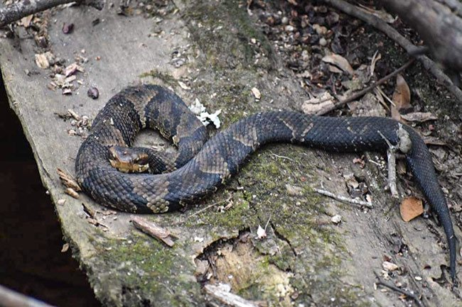 Cottonmount Snake, Francis Beidler Forest