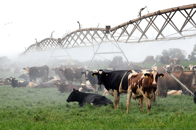 Cows in the Mist, Denmark