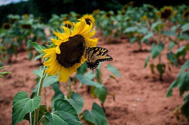 Draper WMA, Butterfly on Sunflower