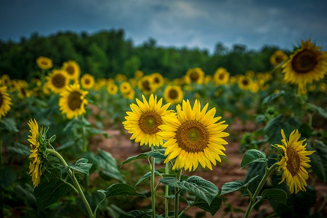 Draper WMA Sunflowers