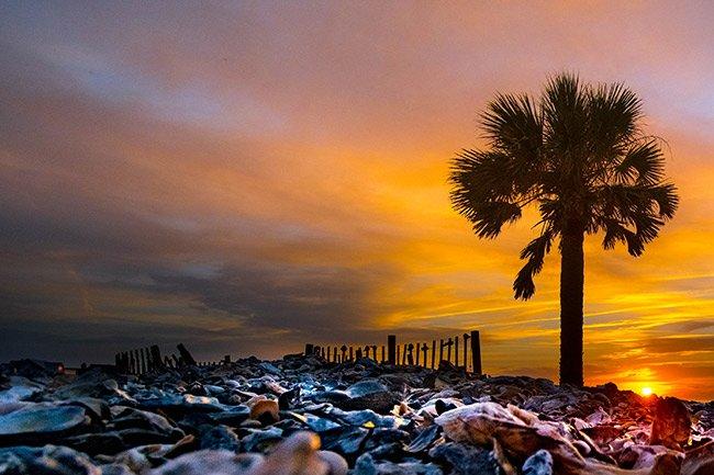 Edisto Beach Palmetto Tree