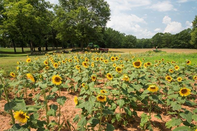 Evergreen Plantation Sunflowers
