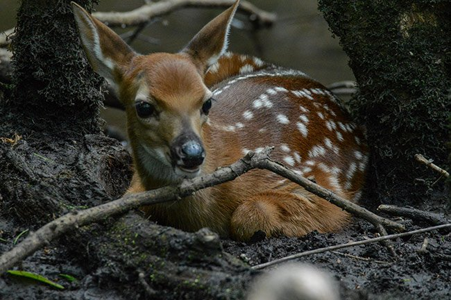 Fawn at Francis Beidler Forest