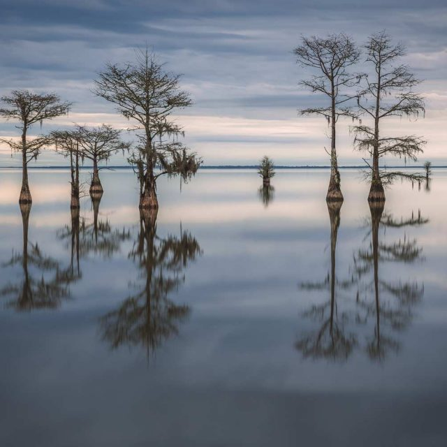 Flooded Cypress Trees in Lake Moultrie