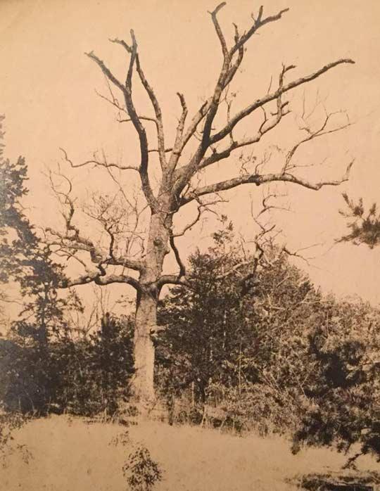 Hopewell Treaty Oak, Clemson