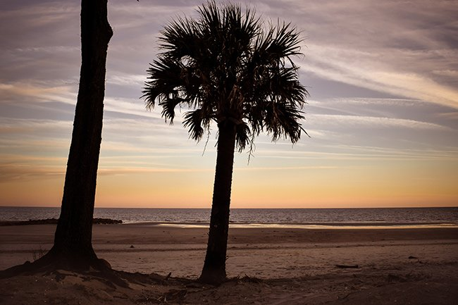 Hunting Island Palmetto Tree