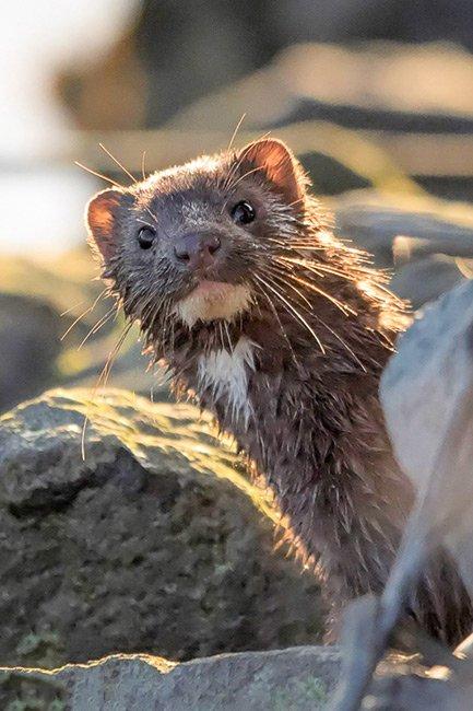 American Mink, Huntington Beach State Park