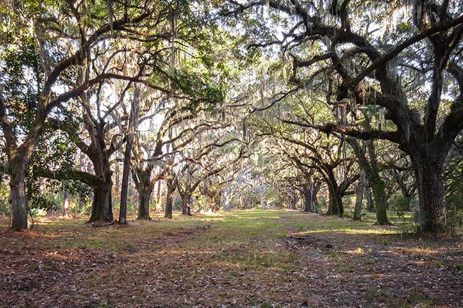 Jehossee Island Avenue of Oaks