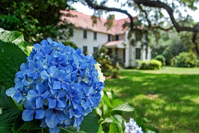 Lofton House Hydrangeas