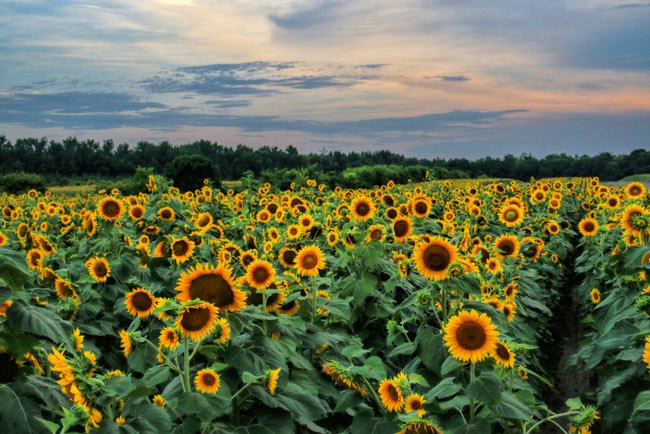 Manchester Sunflowers