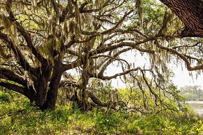 Marsh and Live Oaks, Botany Bay