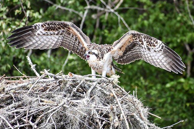 Nesting Osprey | Brookgreen