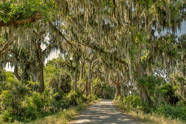 Oak Lined Drive, Savannah NWR