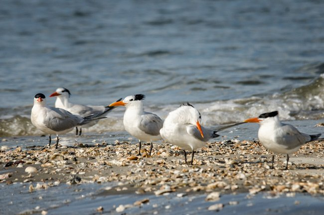 Royal Terns Crab Bank
