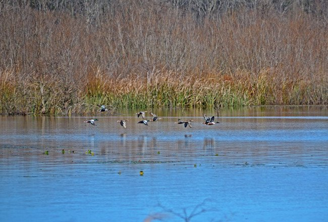 Santee NWR Ducks