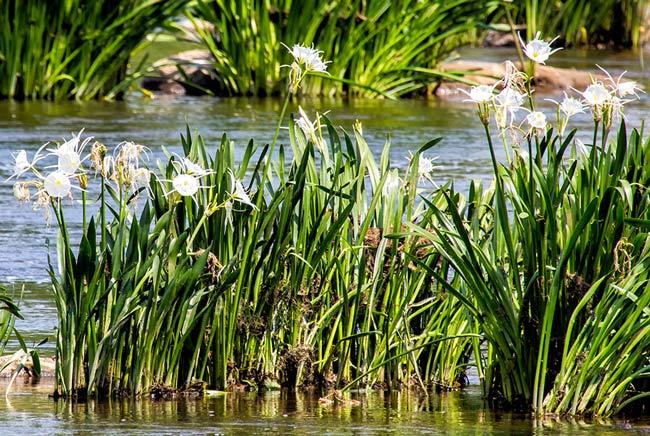 Spiderlilies Landsford Canal State Park