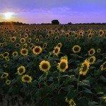St Matthews Sunflowers
