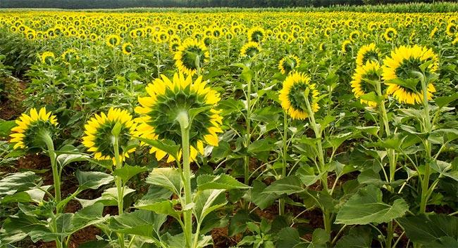 Sunflowers Draper WMA