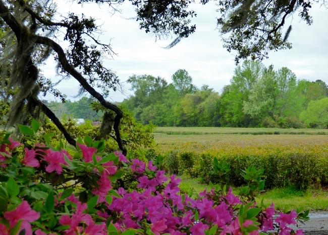 Charleston Tea Plantation Field